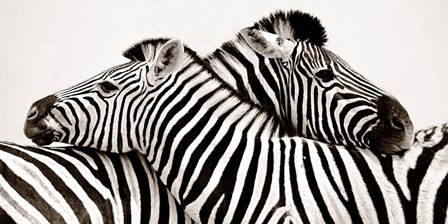 Zebras in Love art print