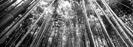 Low angle view of bamboo trees, Arashiyama, Kyoto, Japan by Panoramic Images art print