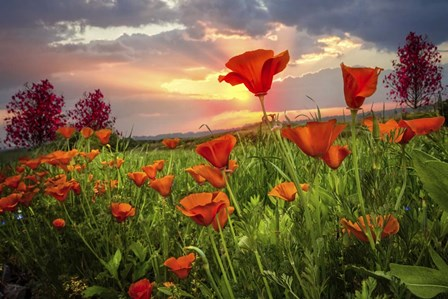 Sunrise Poppies by Celebrate Life Gallery art print