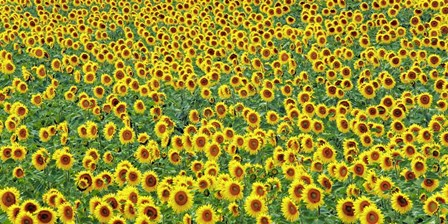 Sunflower field, France by Frank Krahmer art print