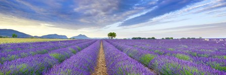 Lavender Field, France by Frank Krahmer art print