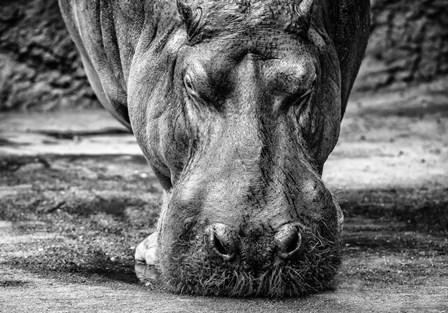 The Hippo - Black & White by Duncan art print